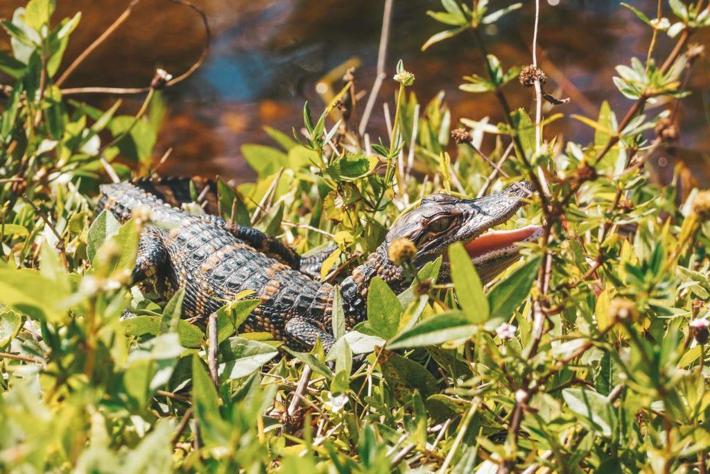 Everglades baby aligator