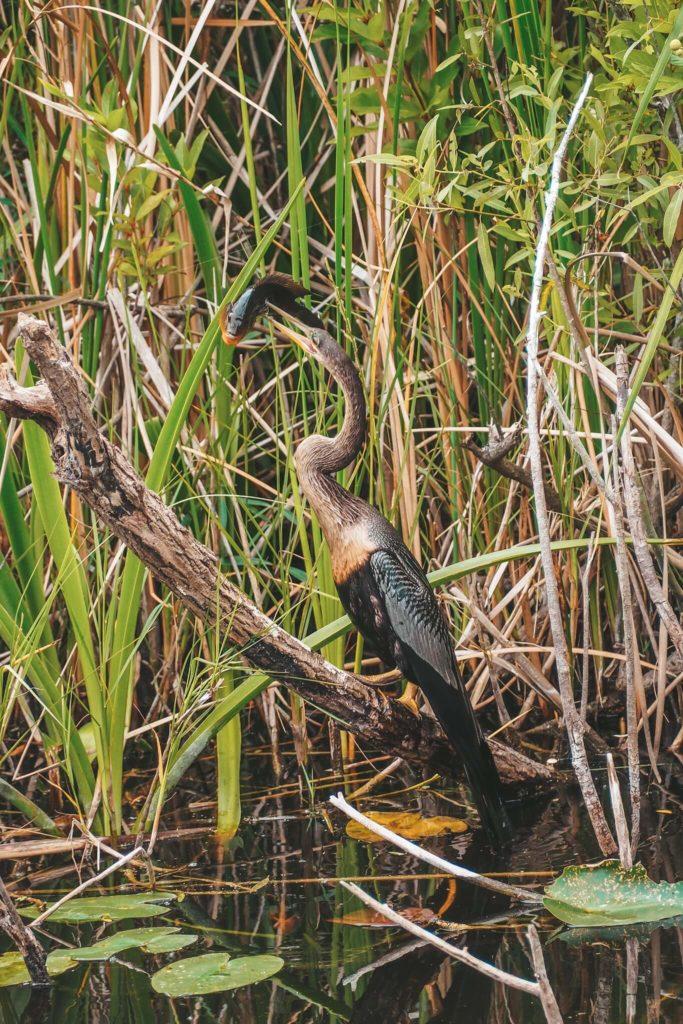 Everglades wilder Vogel der Fisch faengt
